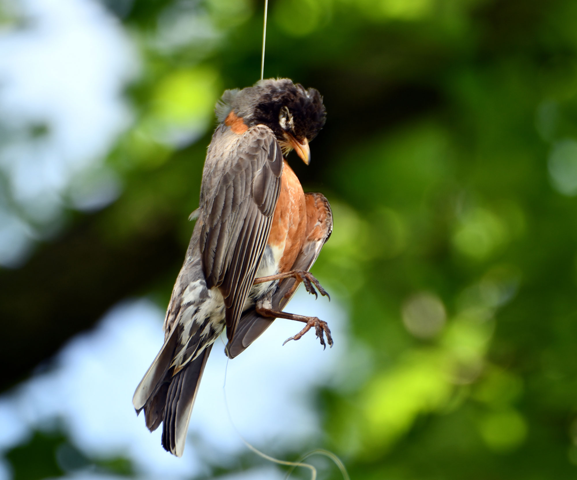 Photo for: This Robin Would Be Alive Right Now if the Fishing Line Was Properly Disposed Of