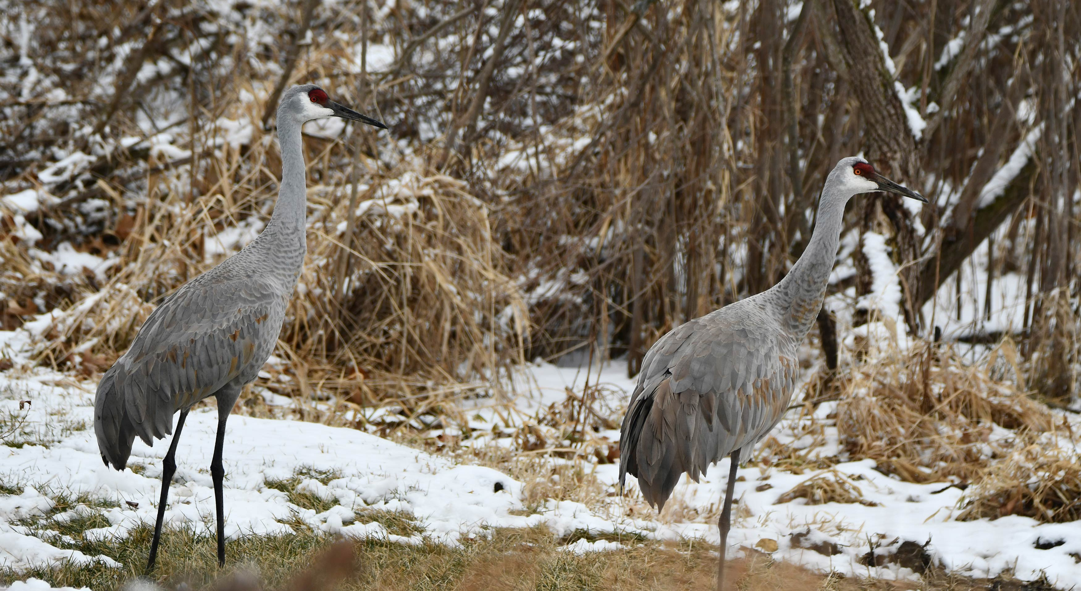 Sandhill Crane National Wildlife Federation >> Monogamy Over Migration Forest Preserve District Of Will County