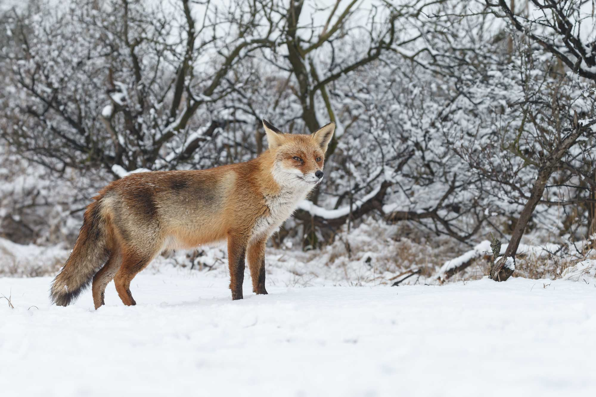 Quiz Are You As Clever As A Red Fox Forest Preserve District