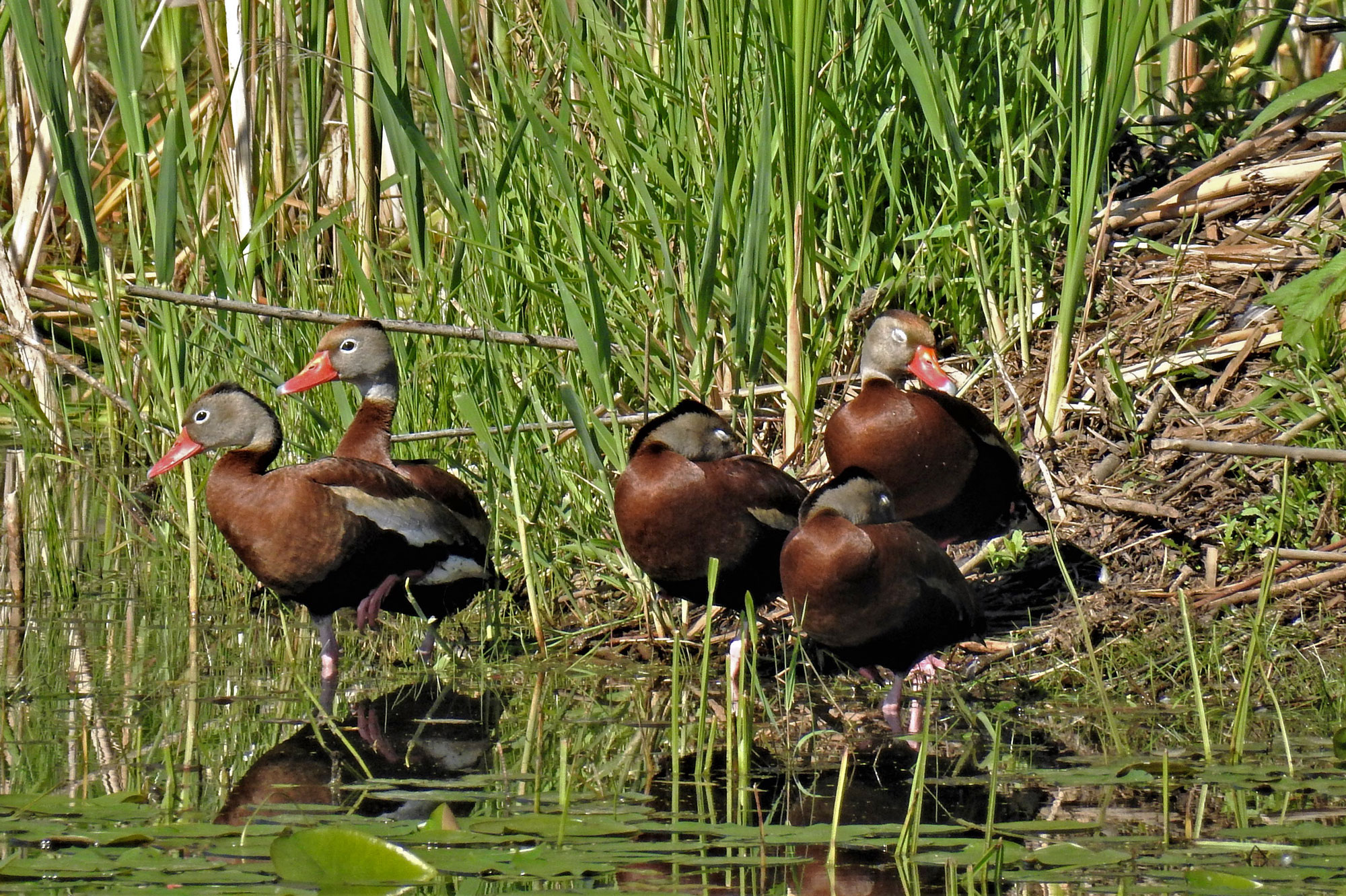 Photo for: Extremely Rare Sighting: Black-Bellied Whistling Ducks Land at Monee Reservoir