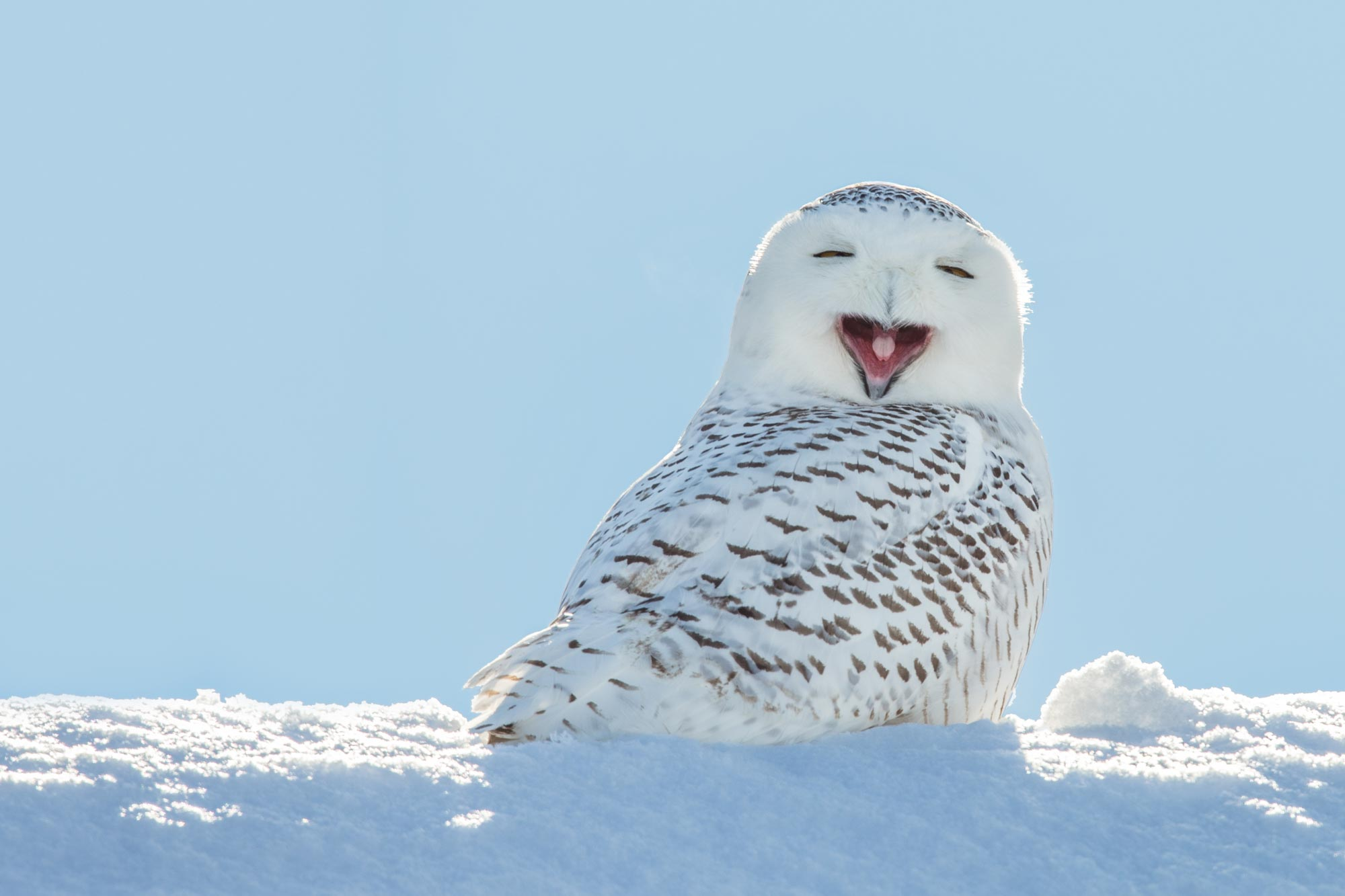 Creature Feature: The Stunning Snowy Owl - Forest Preserve District of Will County