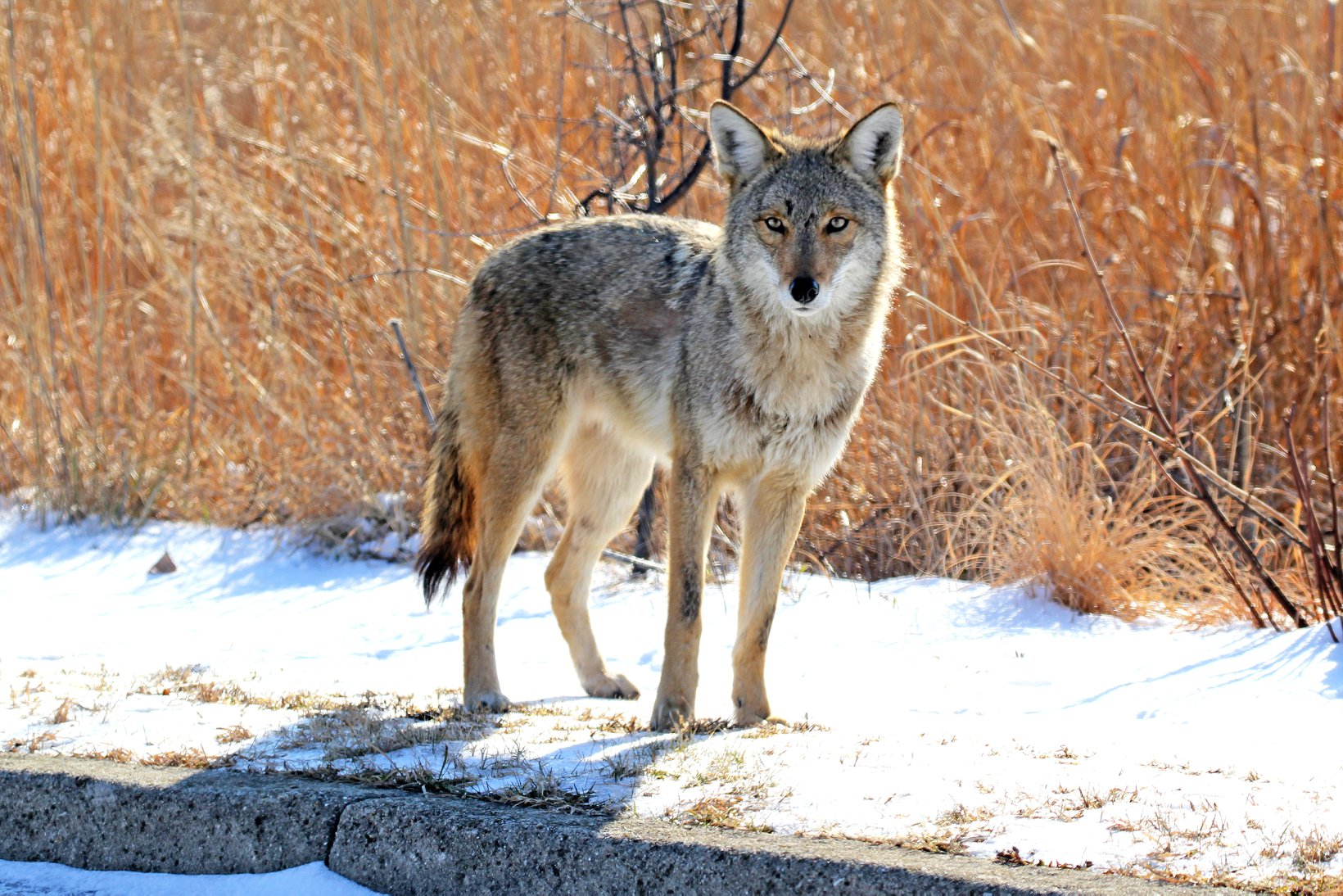 Photo for: Coyotes More Likely to Protect Their Turf During Mating, Pupping Seasons