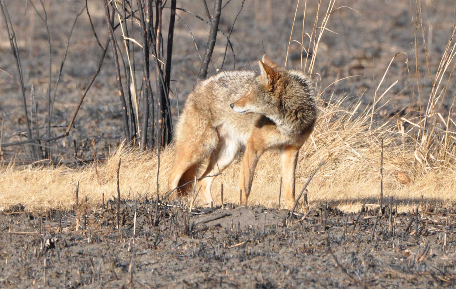 Photo for: What You Need to Know About Coyote Mating Season