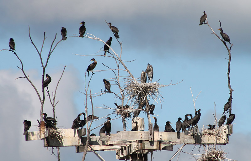 Birds on a nesting perch - Lake Renwick Heron Rookery