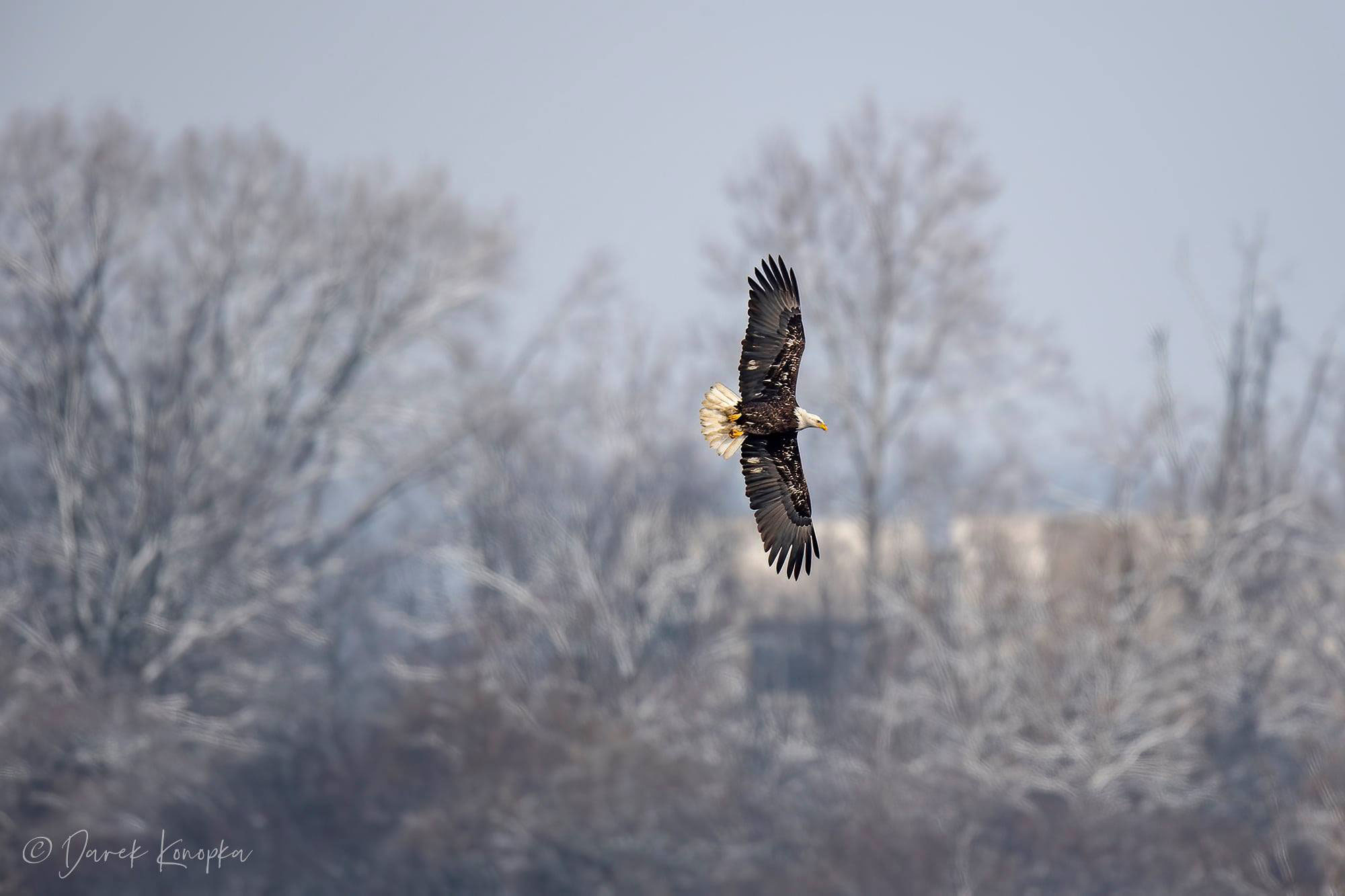 Photo for: Happening Now: A Bald Eagle Bonanza At Rock Run Rookery