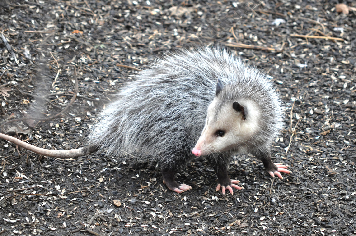 Opossums Are Nature S Pest Control