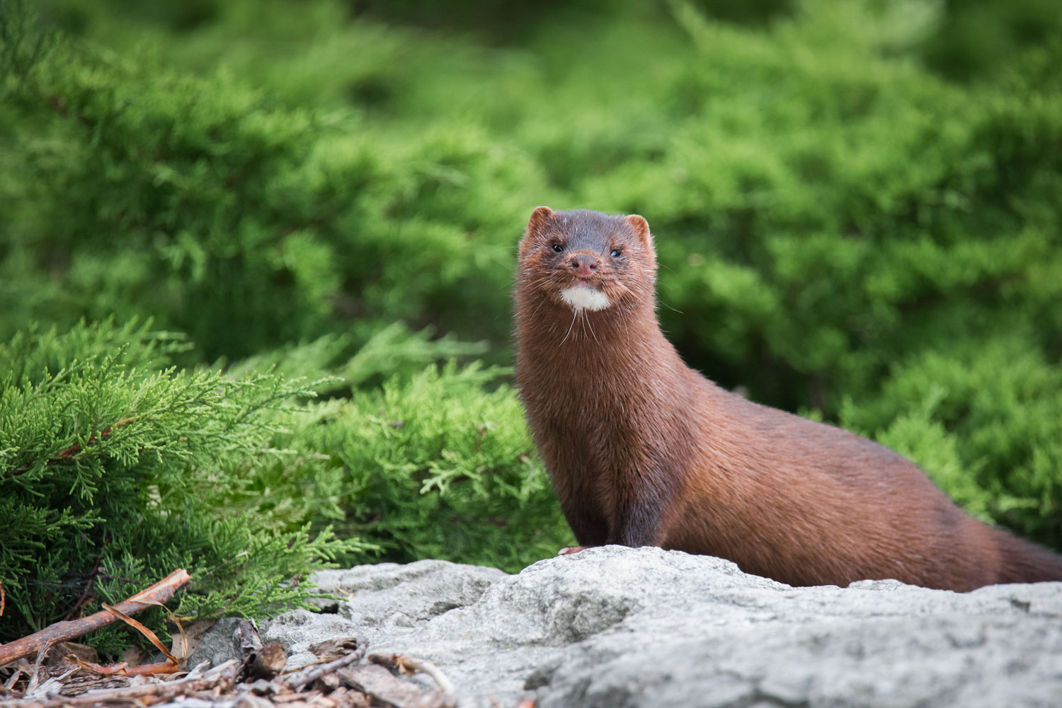 Creature Feature The Mysterious Mink Forest Preserve District Of Will County