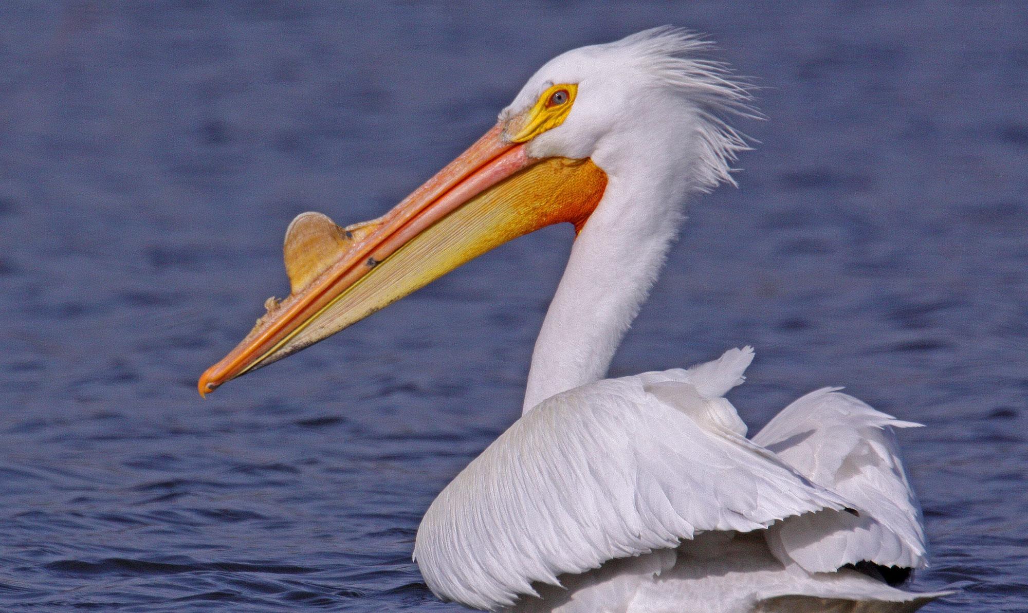 Pelicans Flock To Preserves