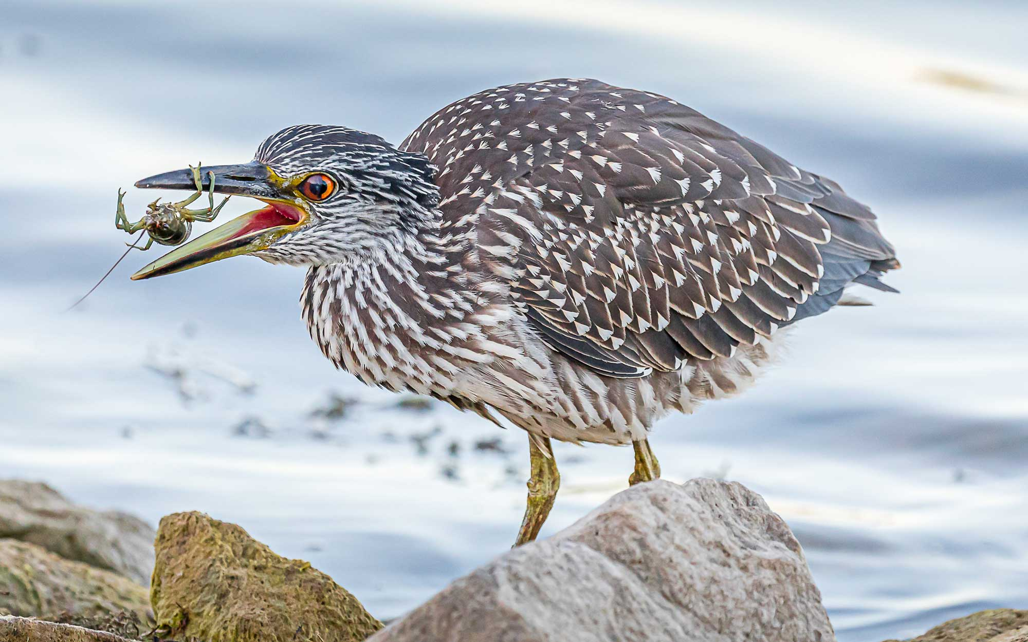 Photo for: Hungry Heron Devours Photo Contest Competition