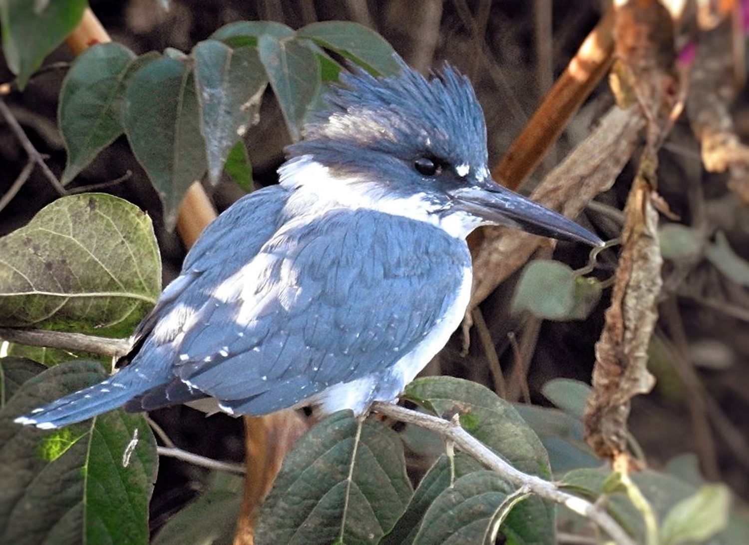Creature Feature The Eye Catching Belted Kingfisher Forest Preserve District Of Will County