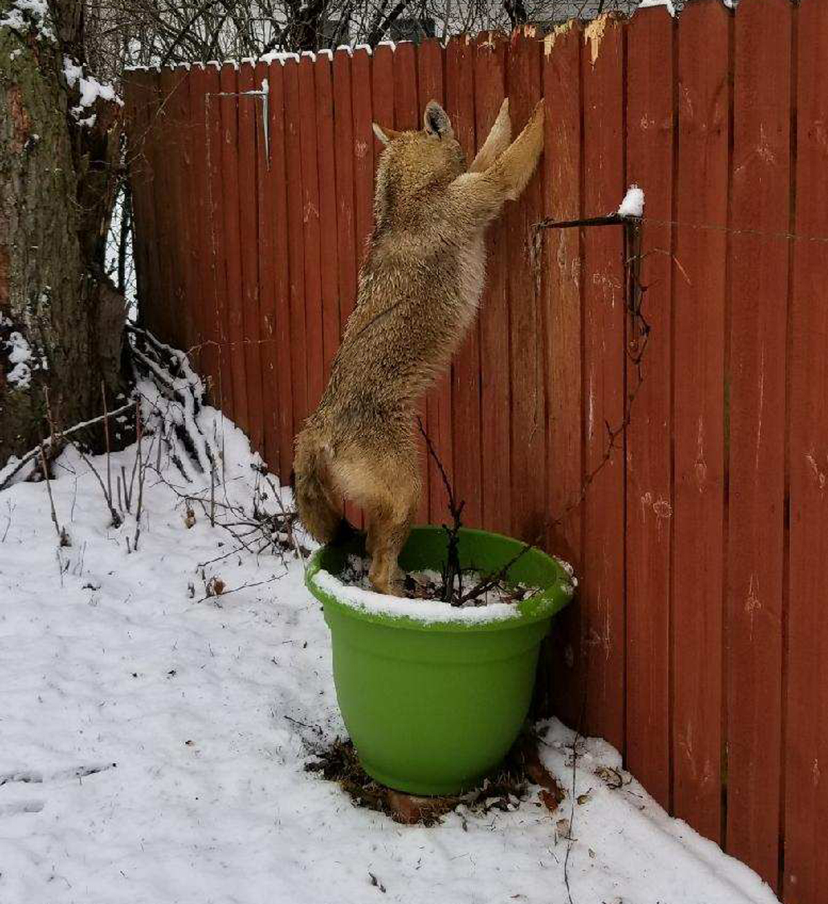 Police Animal Control Rescue Coyote Stuck In Fence