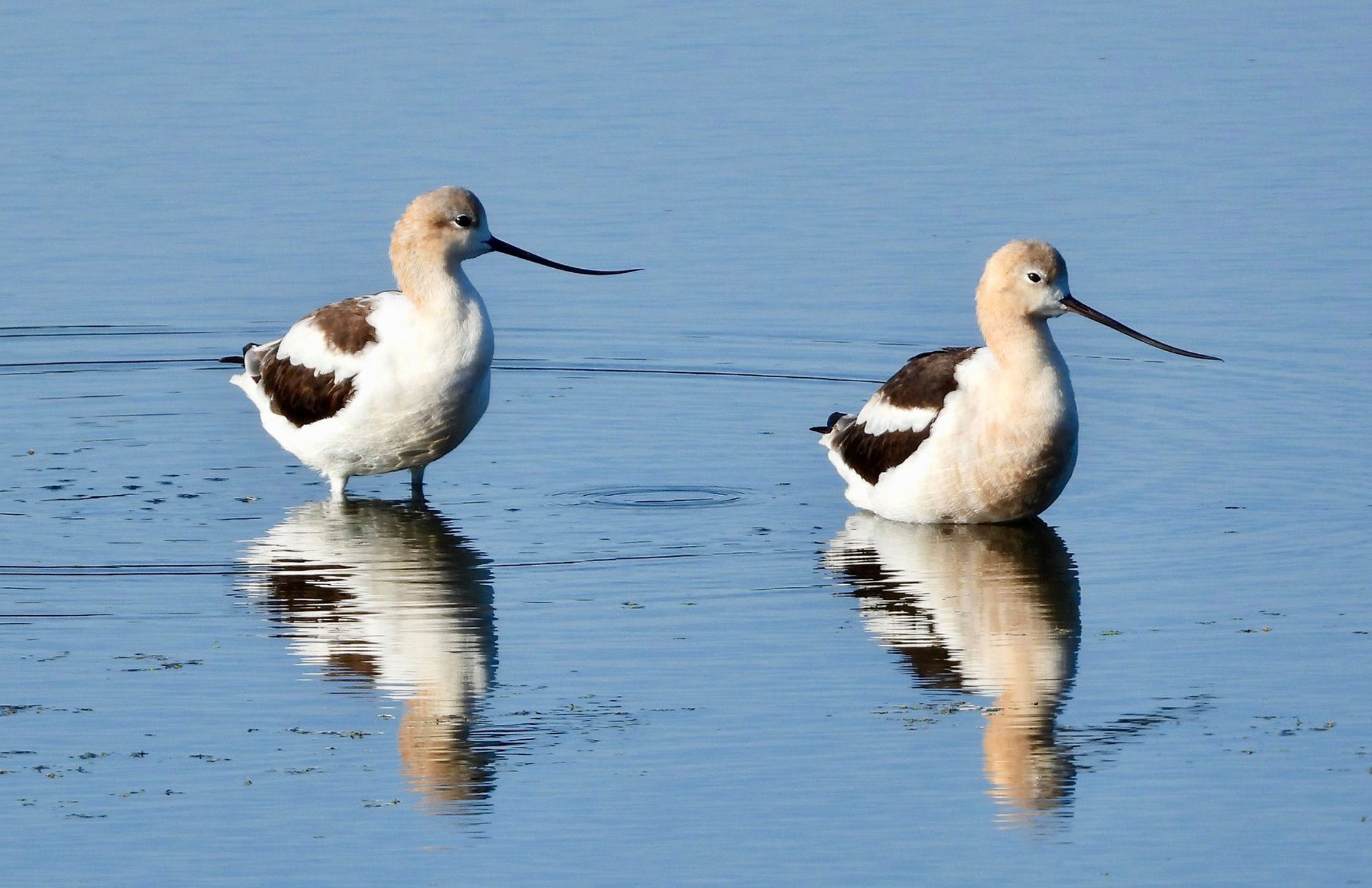 Photo for: Uncommon Sighting: American Avocets Make Pit Stop at Whalon Lake