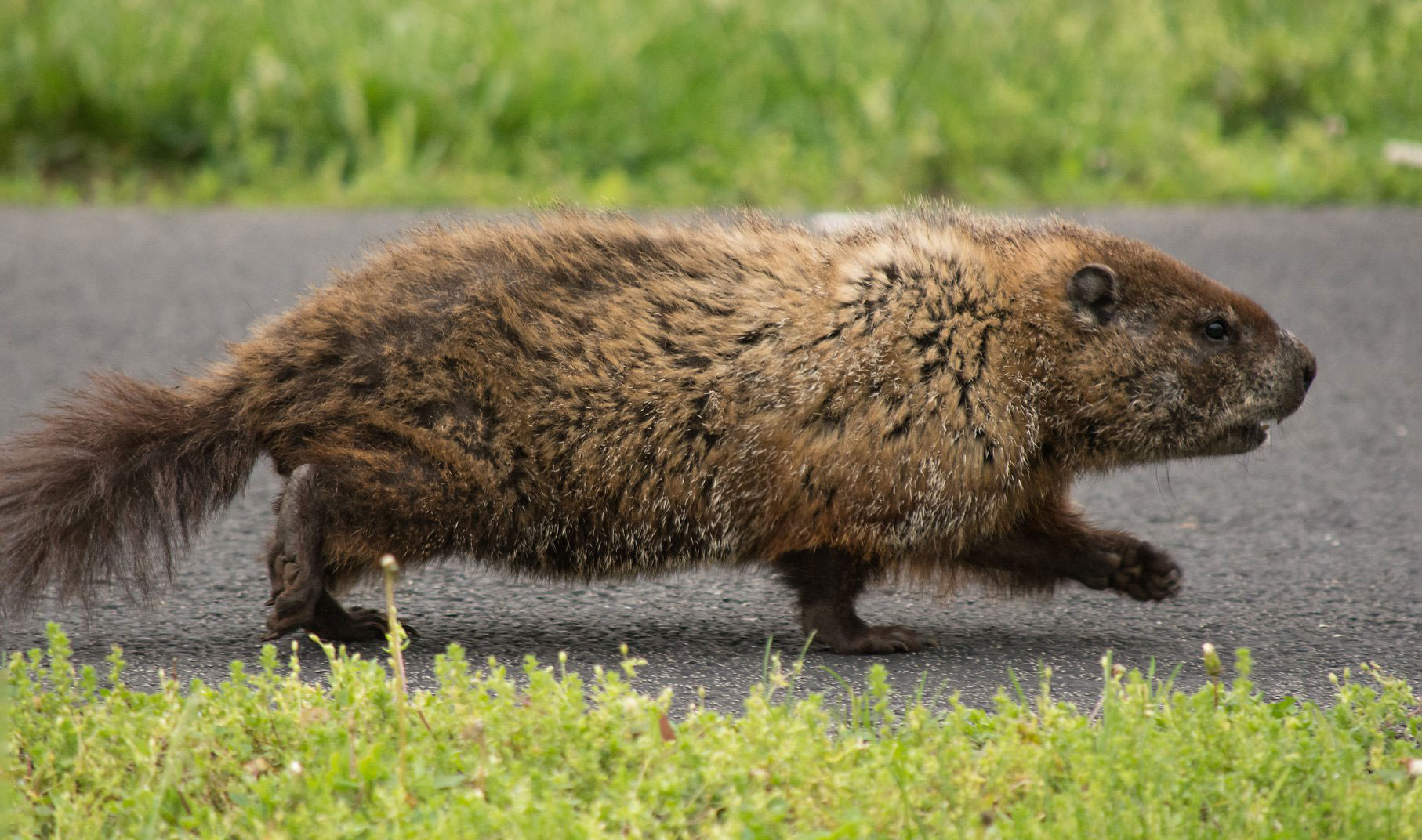 10 Fascinating Facts About Groundhogs - Forest Preserve District ...